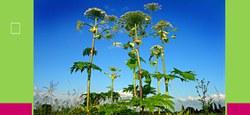 Plantes invasives aux bords des rivières
